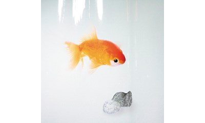 Goldfish Orange